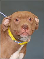 Poppi, a two year-old female pit bull mix, is now available for adoption. Pound #5348  Cage #O-B