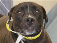 Zeus-a-male-Mastiff-mix-pound-5420