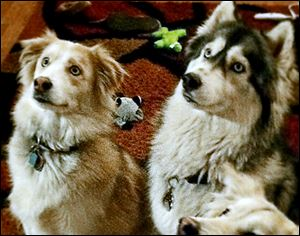 The Juhaszes' dogs, Bugger, left, and Nala are accused of killing two show-quality pigs and injuring a third, all owned by Stephanie Sonnenberg of Bedford Township, in May, 2013.