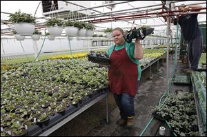 Kimberly Tippin of Holland carries trays of flowers inside a greenhouse at Tom Strain & Sons and Daughter Too Farm Market and Garden Center in Toledo in preparation for the garden center's opening day on April 12.