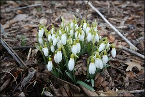 Galanthus, or snowdrops as they are more commonly known, peek through the soil at the 577 Foundation in Perrysburg. The first day of spring is today, even if the temperatures feel anything but springlike.