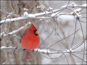 Cardinals are aggressive birds that may think they're protecting their territory  when they fly into their reflection.