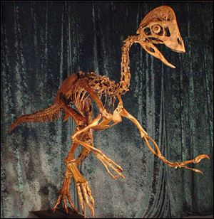 The birdlike dinosaur, Anzu wyliei, was 7 feet tall and weighed about 500 pounds when it roamed the Dakotas about 66 million years ago. Employees nicknamed the creature 'the chicken from hell.'