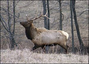Kentucky's elk population has grown since 1997, amassing nearly 14,000. It's the largest herd east of the Mississippi River.