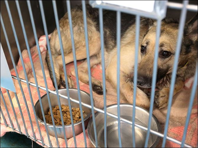 n4dogshot-1 An unnamed 1- to 2-year-old German shepherd was brought into the Lucas Canine Care and Control with a bullet wound. The dog is currently on pain medication and resting.