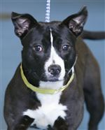 Sweet-Pea-a-female-Pit-Bull-mix-AID-5429