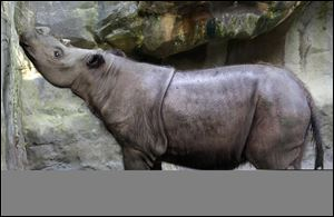 Suci, a female Sumatran rhino, sniffs the air in her enclosure at the Cincinnati Zoo in Cincinnati. The zoo said Suci died Sunday, March 30, 2014, after showing symptoms of a disease that killed her mother five years ago.