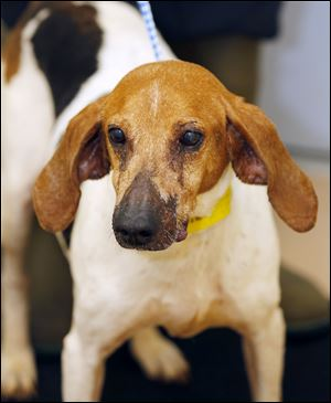 Vera, an 11 year old female foxhound mix is now available for adoption.Pound No. 5572, cage No. 98