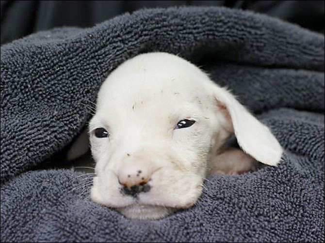 06n1hope A 'pit bull' puppy named Hope died shortly after she was surrendered to the Lucas County Pit Crew. Hope's owner had acquired the gravely ill puppy through a Craigslist ad.