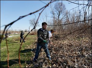 Tyler Shroyer, of Lambertville, pulls on grape vines as he and others from the YMCA clear the invasive vine from an area of woods near Summit Street in Toledo.