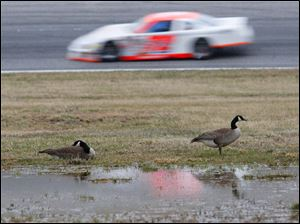 A pair of Canadian geese are unfazed by a race car during the 7Up 150 at Toledo Speedway