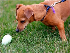 A Chiweenie named Chloe sniffs out an egg.