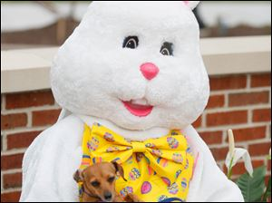 Easter Bunny, played by Jacquinno Stovall, holds a Chiweenie named Chloe.