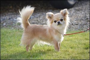 Valenchino Chihuahua Xena, who was named Best Puppy in Breed at Crufts 2014, and was snatched with four other dogs, including her mother Io and grandmother Angel, from a house in East Yorkshire on Thursday.