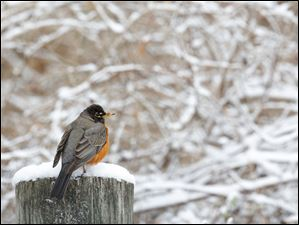 A robin perches among freshly fallen snow at Orleans Park in Perrysburg.