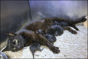 An unnamed 1-year-old cat nurses her six kittens Tuesday after giving birth at the Toledo Area Humane Society in Maumee. It was one of three pregnant cats seized Friday from a Toledo home.