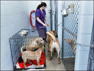 Animal-care specialist Laura Woda puts one of the many lab mixes that were seized into a pen at the Toledo Area Humane Society in Maumee. The other three dogs pictured are part of the same pack.