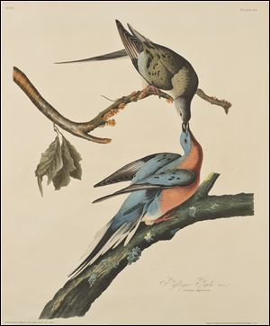 John James Audubon (American, 1785–1851), 'The Passenger Pigeon,' Plate 62 of Birds of America, 1829. Etching, aquatint (colored by hand), 30 3/16 by 26 1/8 inches. The work is part of a show opening April 25 at the Toledo Museum of Art.