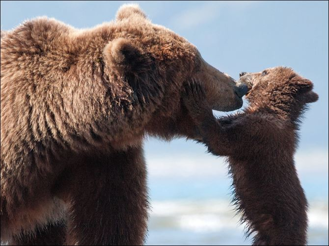 "An adult bear named Sky and a cub named Scout in a scene from ""Bears."""