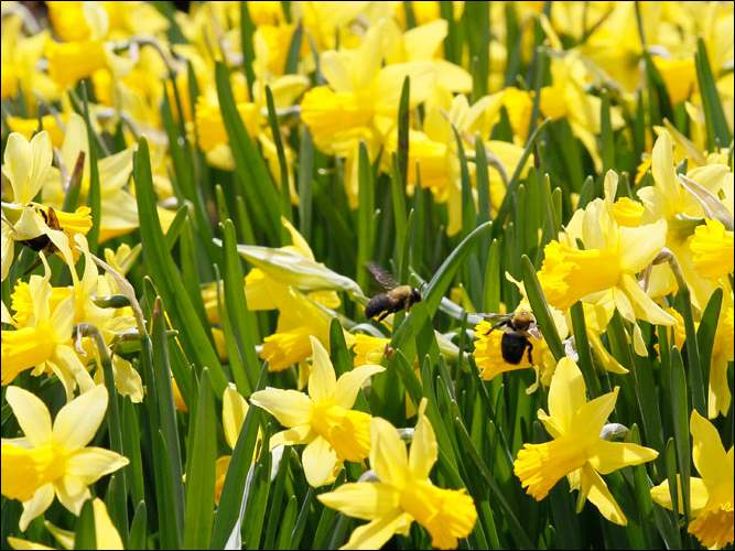"""A crowd, a host, of golden daffodils,"" from ""Daffodils"" by William Wordsworth."
