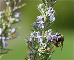 Gardeners can help save bees by adding plants that flower both early and late in the season such as Rosemary blooms.