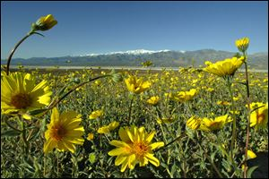 Wildflowers bloom on the edge of the Badwater Basin, the lowest elevation in the United States, 282 feet below sea level, with the Panamit Range in the background at Death Valley National Park, Calif. Rangers report 'a pretty decent bloom this spring.'
