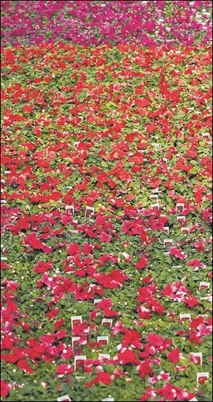 LIV impatiens08p   04/08/2014  The Blade/Lori King  Impatiens for sale at Tom Strain & Sons (Daughter Too) Farm Market and Garden Center in Toledo.