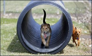 Riley, left, a 13 week, female, Aussie Husky, runs through a tube while playing with a non-related, male, one-year-old Pomchi named Coco, right, in the dog park next to the Wood County Dog Shelter.