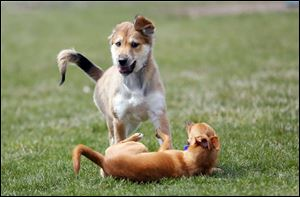 Riley, left, a 13 week, female, Aussie Husky, plays with an unrelated male, one-year-old Pomchi named Coco, right, in the dog park next to the Wood County Dog Shelter.