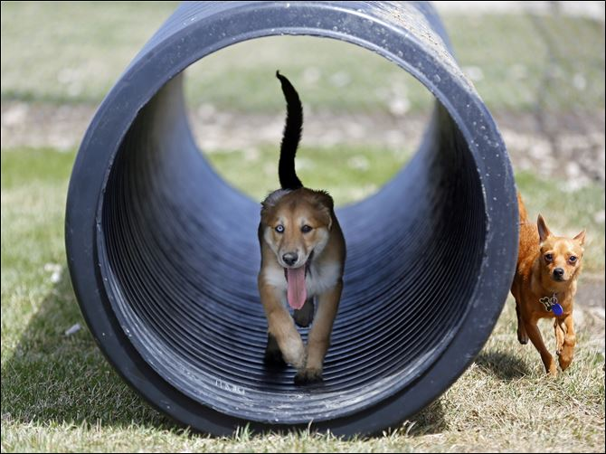 Wood County dog park Riley, left, a 13 week, female, Aussie Husky, runs through a tube while playing with a non-related, male, one-year-old Pomchi named Coco, right, in the dog park next to the Wood County Dog Shelter.