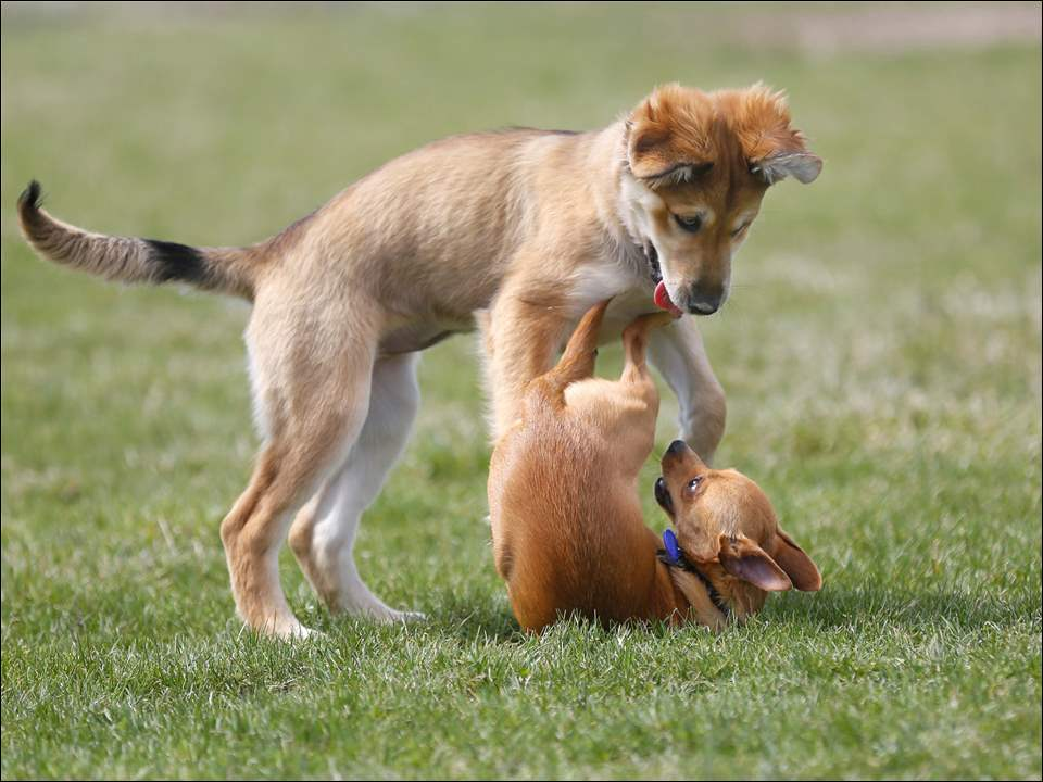 Riley, left, a 13 week, female, Aussie Husky, plays with an unrelated male, one-year-old Pomchi named Coco.