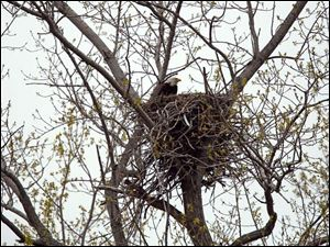An eagle sits on a nest above the parking lot for the boardwalk at Magee Marsh.