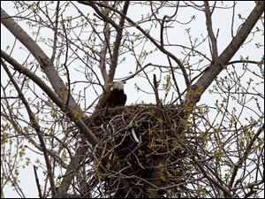 A bald eagle sits on a nest above the parking lot for the boardwalk at Magee Marsh.