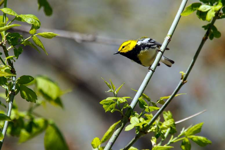 A-black-throated-green-warbler-perches-in-the-sun-only-briefly