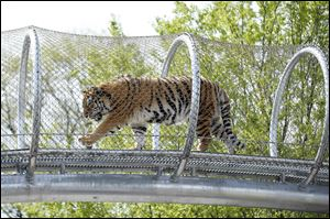 The see-through mesh pathway called Big Cat Crossing at the Philadelphia Zoo is part of a national trend called animal rotation that zoos use to enrich the experience of both creatures and guests.