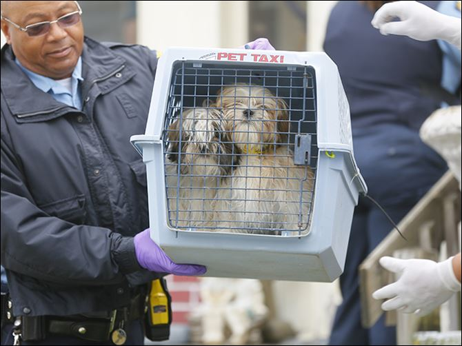 0001010100000500000 Toledo police Officer Duane Smith carries two of the Shih Tzus out of 1802 Perth St. The living conditions were deemed unsanitary.