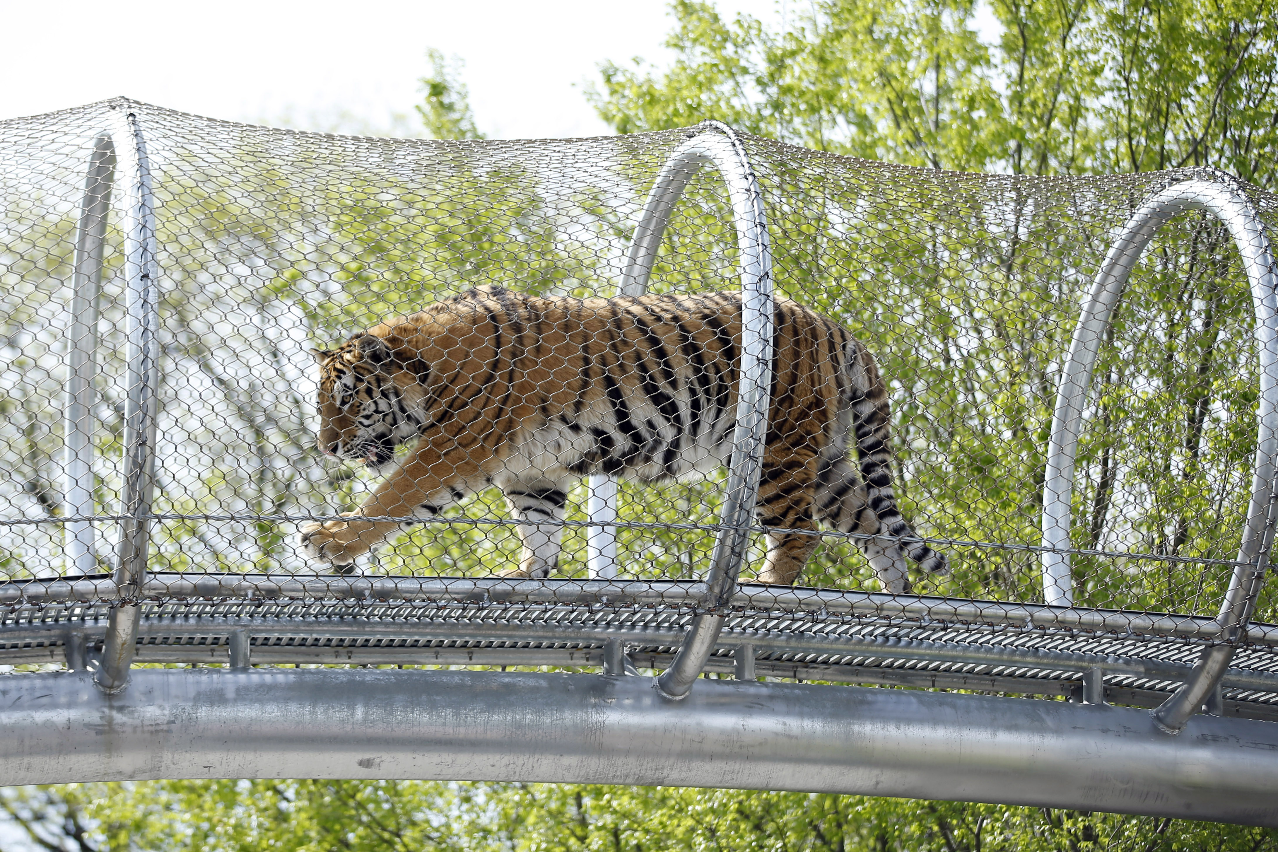 Philadelphia Zoo Lets Tigers Stretch Legs On Trail The Blade