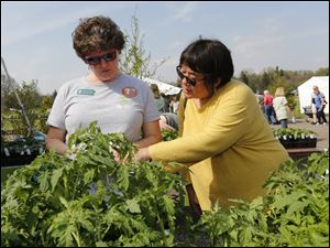 Toledo GROWS manager Yvonne Dubielak, left, assisting Cheryl Takata, of Perrysburg, as she selects a tomato plant. Toledo GROWS is selling numerous vegetable plants, and a large variety of heirloom tomatoes at the annual Spring plant sale at the Toledo Botanical Garden in Toledo.