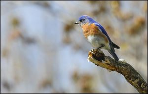 A bluebird basks in the sun at Swan Creek Metropark in Toledo. Bird-watchers are filling hotels in Lucas and Ottawa counties.