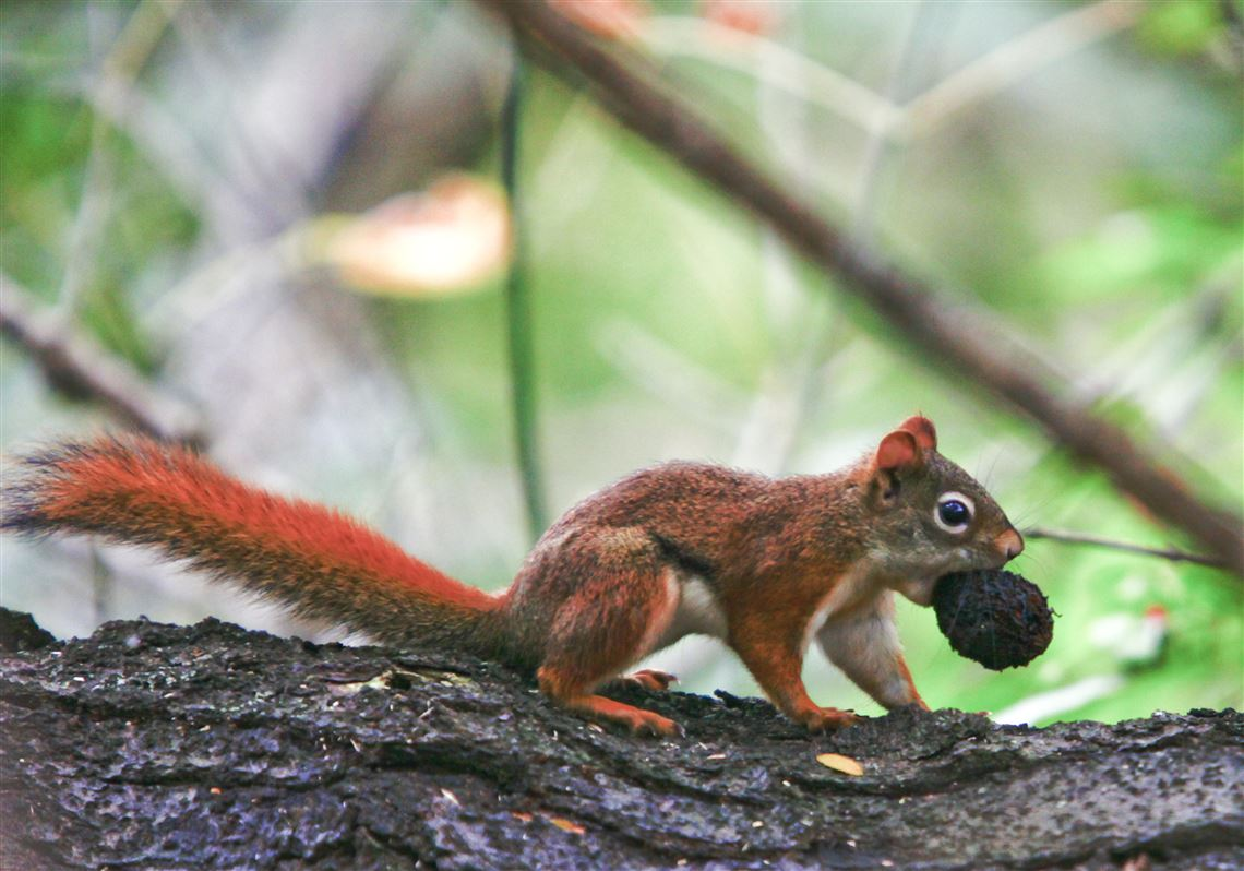 Anti-squirrel strategies: greased poles, baffles | Toledo Blade