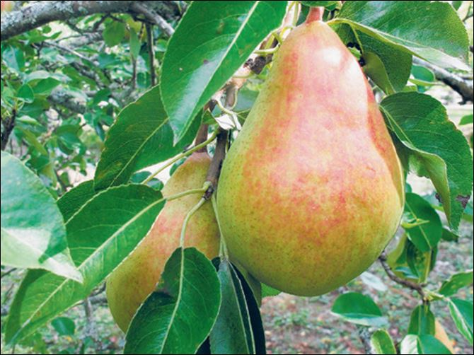 Pears can be dried, which concentrates their flavors and sweetness. Pears can be dried, which concentrates their flavors and sweetness.