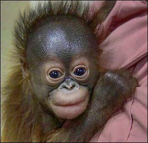 Zoo officials will try to find a new home and surrogate mother for Kecil, who was born Jan. 11, after his mother rejected him.