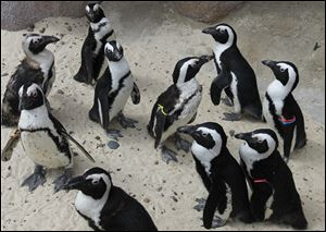 African penguins gather at the new Penguin Beach exhibit. Workers at the Toledo Zoo were able to use the exhibit to quarantine the newly arriving birds.