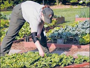 A National Park Service worker tends to the White House kitchen garden.