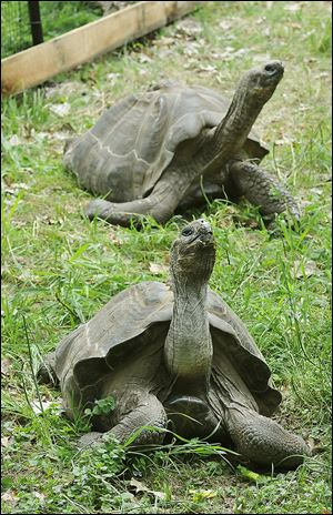 A Galapagos tortoise, rear, weighing in at 163 pounds, and his female companion, front, weighing 122 pounds, crane their necks in their enclosure.