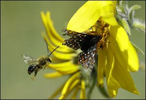 A  Taylor's checkerspot butterfly rests on a Puget balsamroot flower while a bee flies nearby.