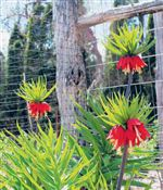 Crown-imperial-is-a-majestic-bulb-that-deserves-to-b