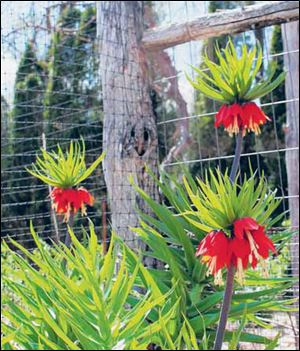 Crown imperial is a majestic bulb that deserves to be more widely known and grown.