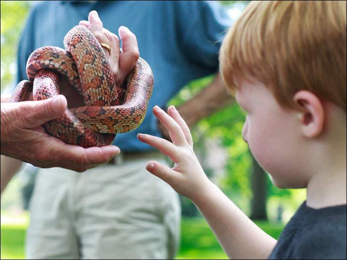 Liam Cherney, 4, extends his hand to pet a corn snake.