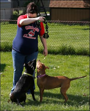 Amanda Overholt plays with her 'pit bulls,' Ace, left, and Ginger in the backyard of her Northwood home. She said she was skeptical of the breed until she met Ace.